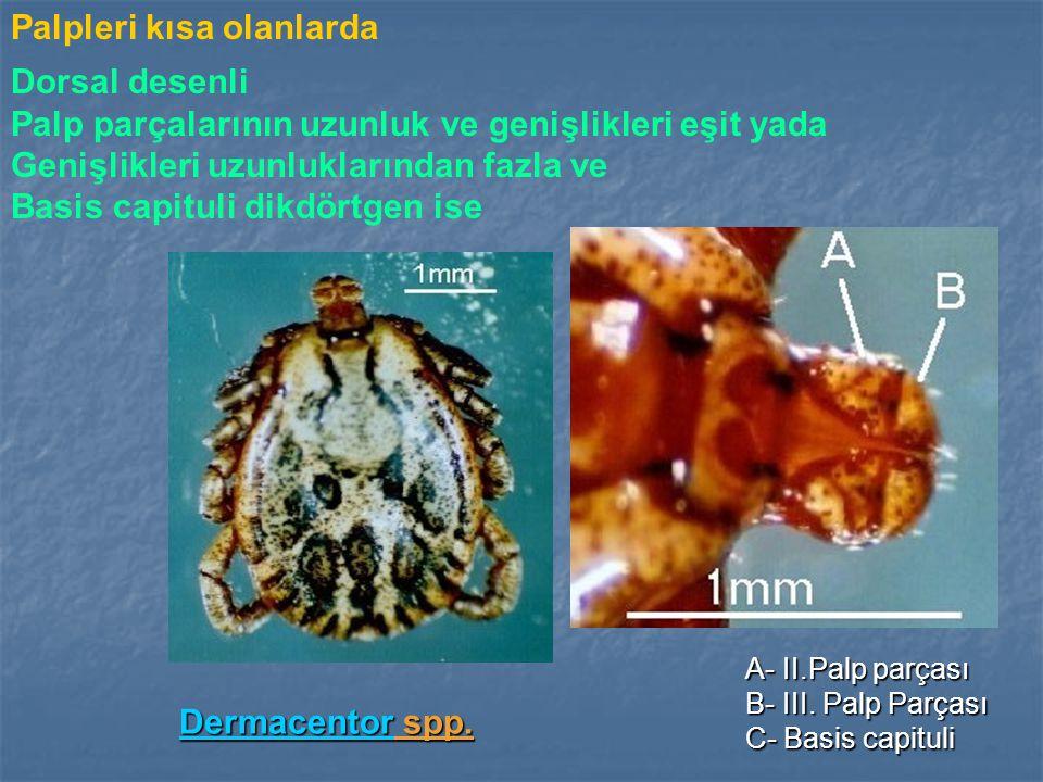 Palpleri kısa olanlarda DermacentorDermacentor spp.