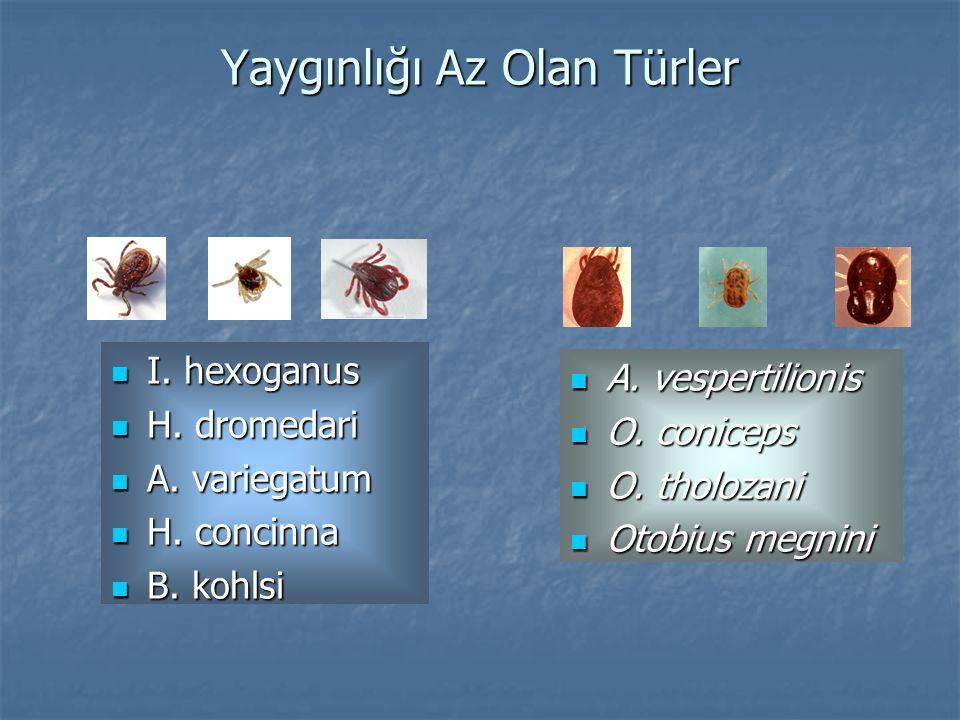 Yaygınlığı Az Olan Türler I.hexoganus I. hexoganus H.