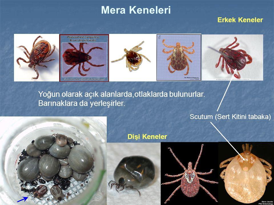 RhipicephalusRhipicephalus spp.