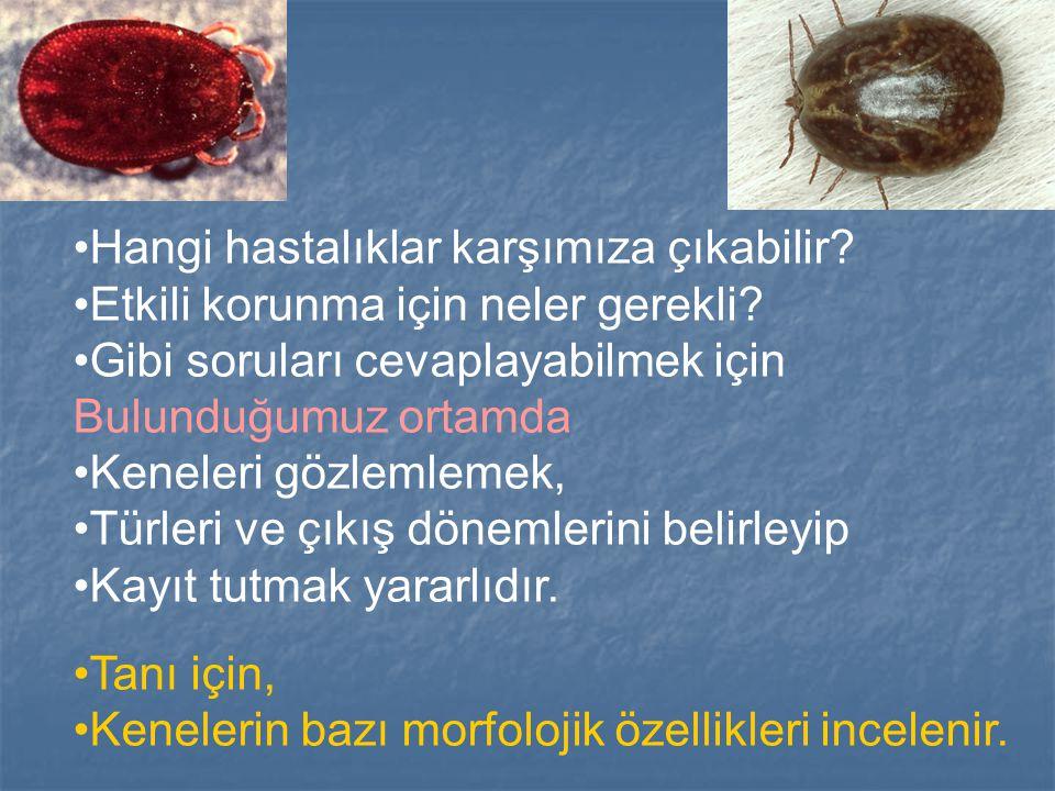 Türkiye'de Yaygın Bulunan Türler Ixodes Ixodes I.ricinus I.