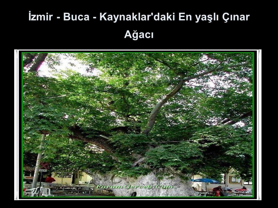 İzmir - Buca - Kaynaklar daki En yaşlı Çınar Ağacı