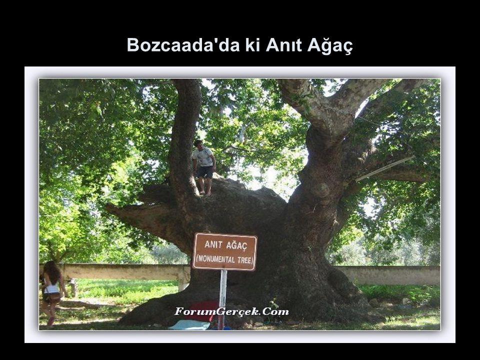 Bozcaada da ki Anıt Ağaç