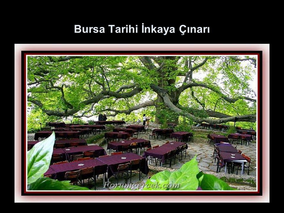 Bursa Tarihi İnkaya Çınarı