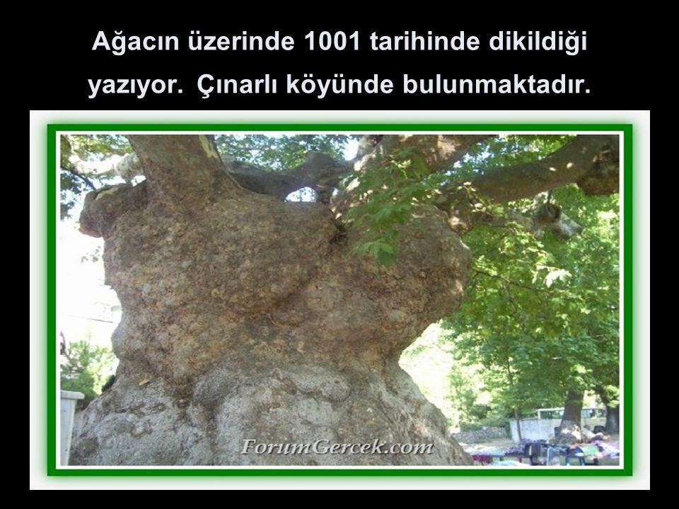 Ağacın üzerinde 1001 tarihinde dikildiği yazıyor. Çınarlı köyünde bulunmaktadır.
