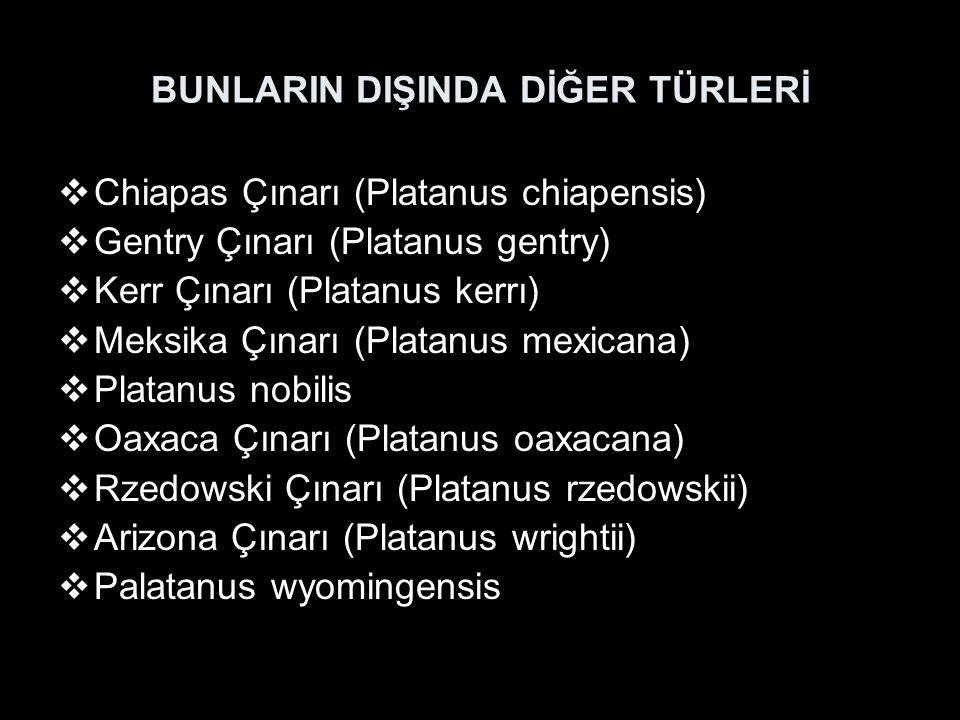 BUNLARIN DIŞINDA DİĞER TÜRLERİ  Chiapas Çınarı (Platanus chiapensis)  Gentry Çınarı (Platanus gentry)  Kerr Çınarı (Platanus kerrı)  Meksika Çınarı (Platanus mexicana)  Platanus nobilis  Oaxaca Çınarı (Platanus oaxacana)  Rzedowski Çınarı (Platanus rzedowskii)  Arizona Çınarı (Platanus wrightii)  Palatanus wyomingensis