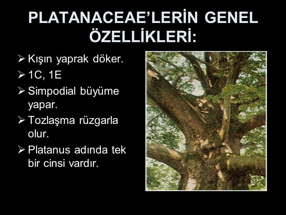 PLATANACEAE'LERİN GENEL ÖZELLİKLERİ:  Kışın yaprak döker.