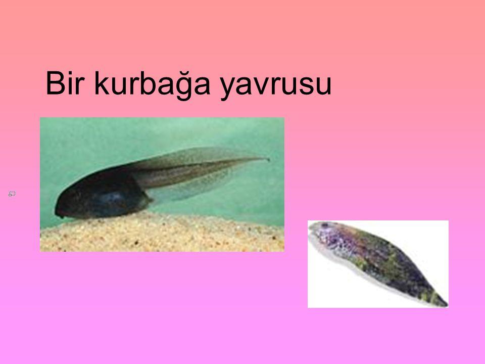 Bir kurbağa yavrusu