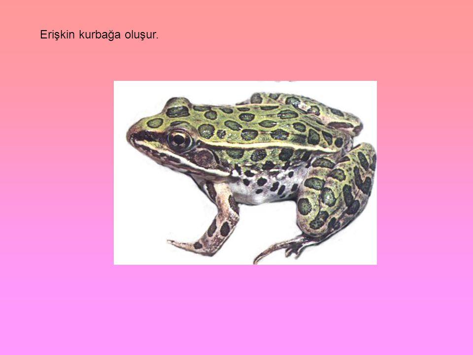 Erişkin kurbağa oluşur.