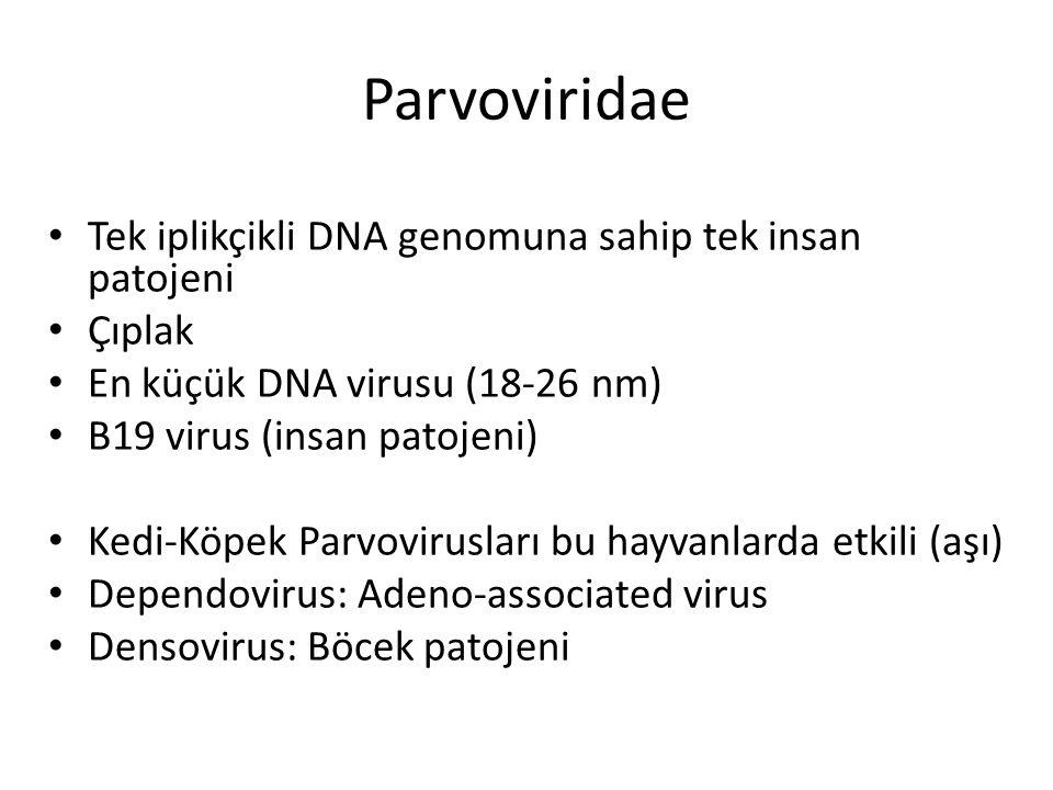 Tek iplikçikli DNA genomuna sahip tek insan patojeni Çıplak En küçük DNA virusu (18-26 nm) B19 virus (insan patojeni) Kedi-Köpek Parvovirusları bu hay