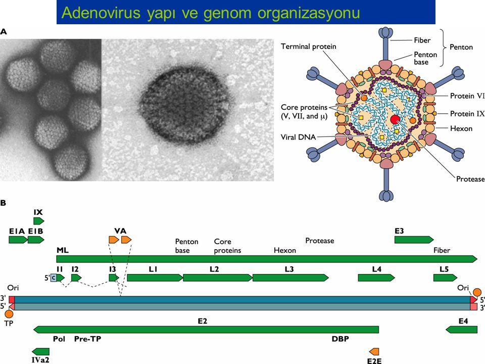 Adenoviruses Nukleusda replikasyona uğrar Virus litik, persistan, latent enfeksiyonlar oluşturabilir.
