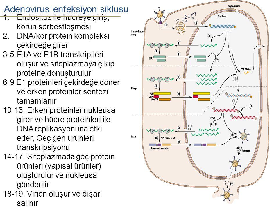 Adenovirus enfeksiyon siklusu 1.Endositoz ile hücreye giriş, korun serbestleşmesi 2.DNA/kor protein kompleksi çekirdeğe girer 3-5.E1A ve E1B transkrip