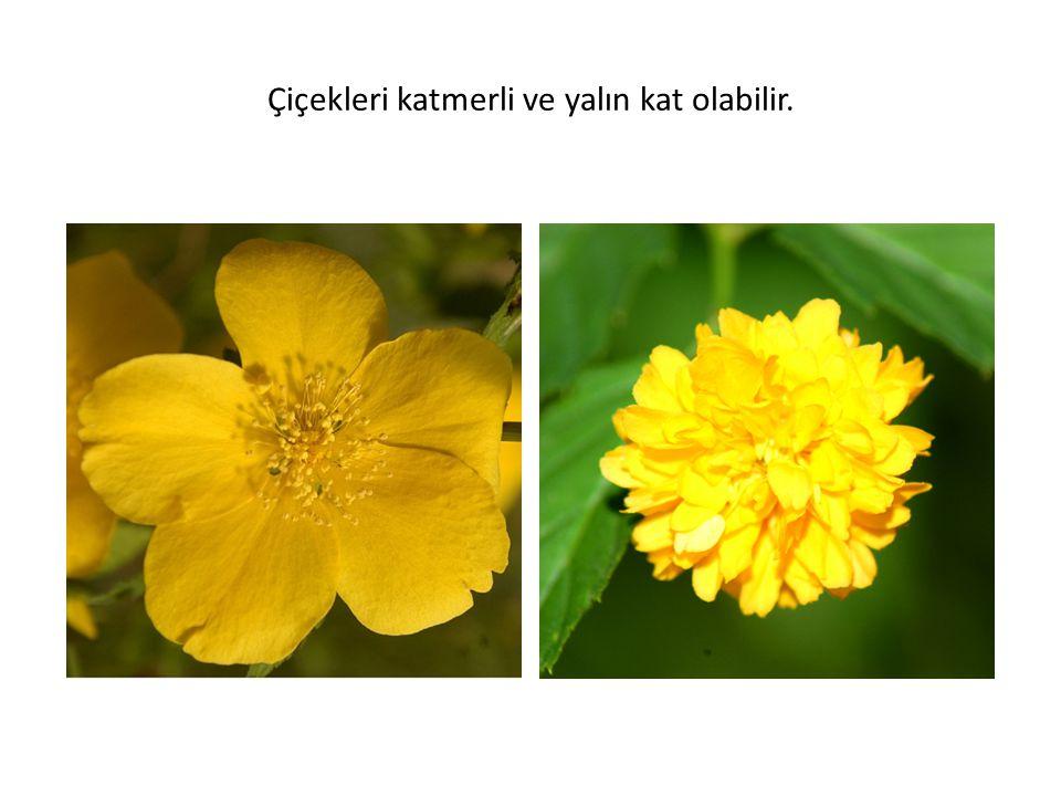 Çiçekleri katmerli ve yalın kat olabilir.