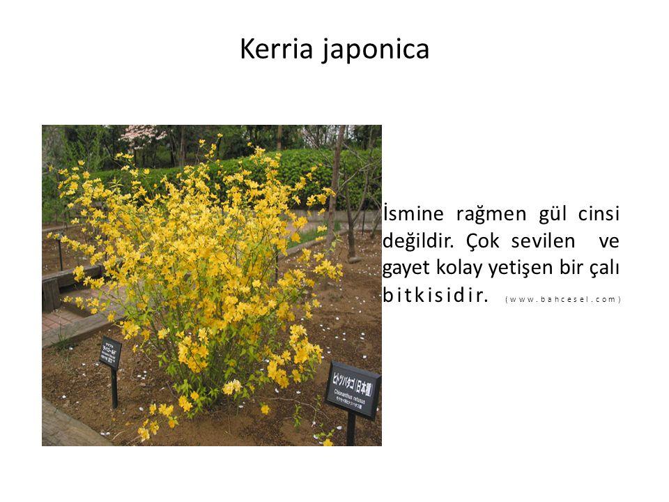 Kerria japonica İsmine rağmen gül cinsi değildir. Çok sevilen ve gayet kolay yetişen bir çalı bitkisidir. (www.bahcesel.com)