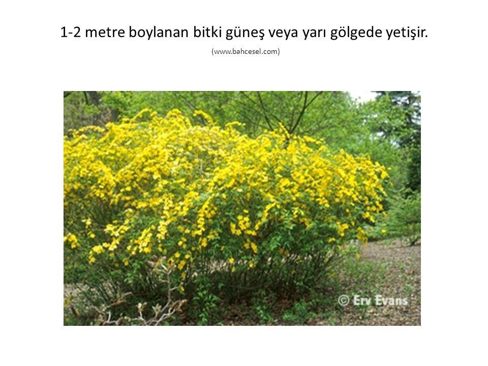 1-2 metre boylanan bitki güneş veya yarı gölgede yetişir. (www.bahcesel.com)