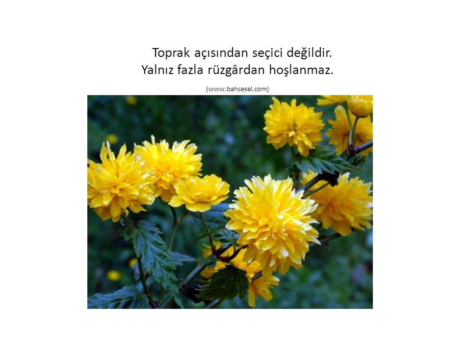 Toprak açısından seçici değildir. Yalnız fazla rüzgârdan hoşlanmaz. (www.bahcesel.com)