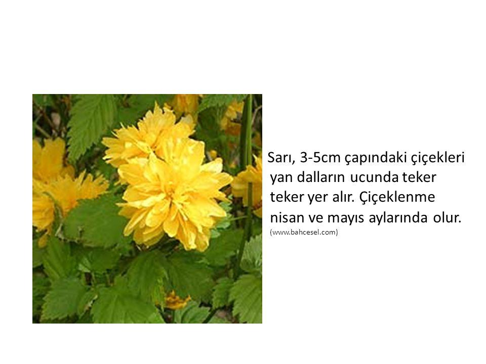 Sarı, 3-5cm çapındaki çiçekleri yan dalların ucunda teker teker yer alır. Çiçeklenme nisan ve mayıs aylarında olur. (www.bahcesel.com)