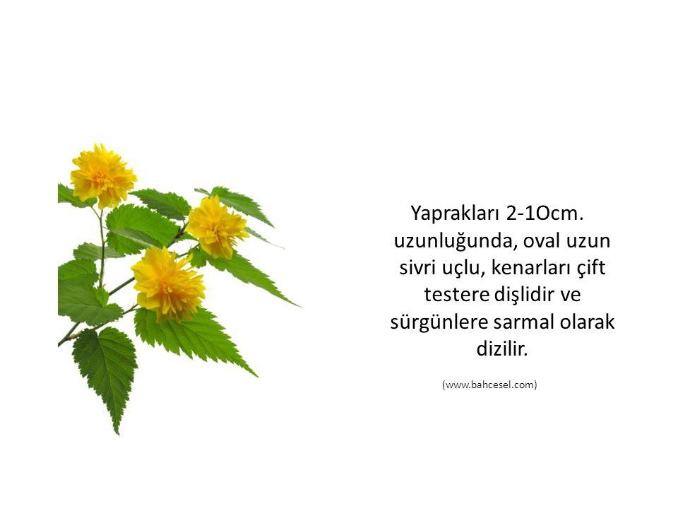 Yaprakları 2-1Ocm. uzunluğunda, oval uzun sivri uçlu, kenarları çift testere dişlidir ve sürgünlere sarmal olarak dizilir. (www.bahcesel.com)
