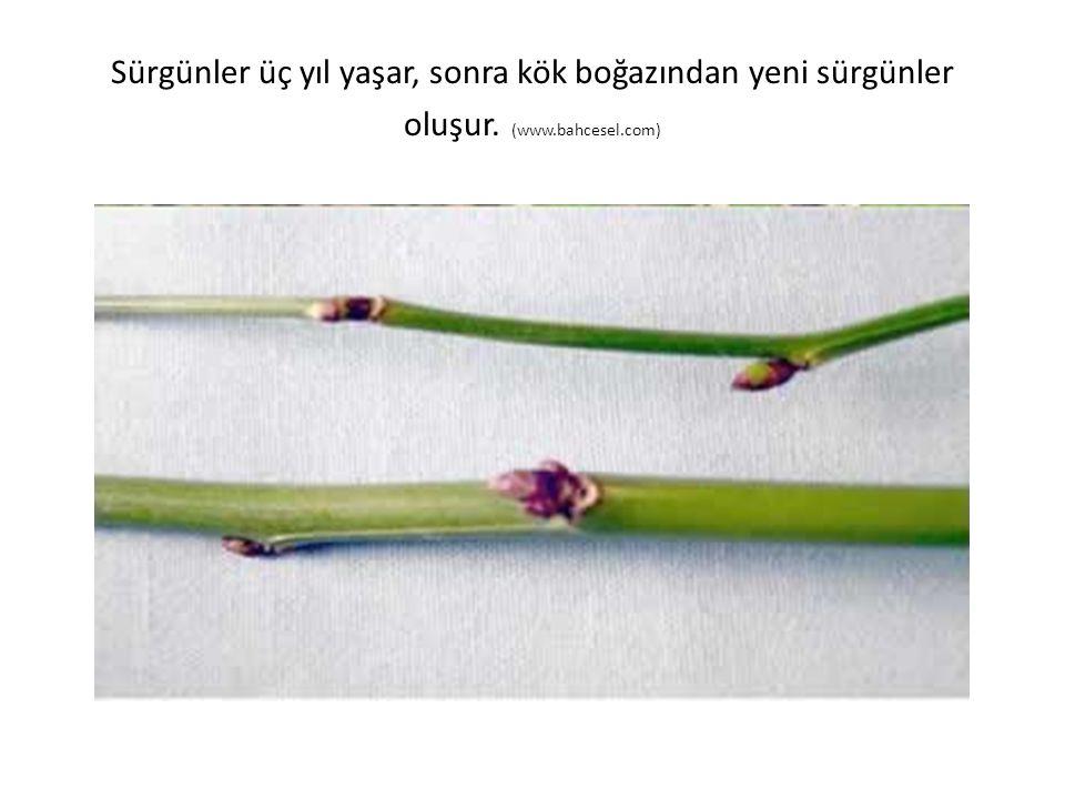 Sürgünler üç yıl yaşar, sonra kök boğazından yeni sürgünler oluşur. (www.bahcesel.com)