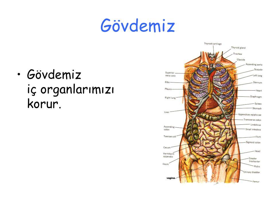 Gövdemiz Gövdemiz iç organlarımızı korur.