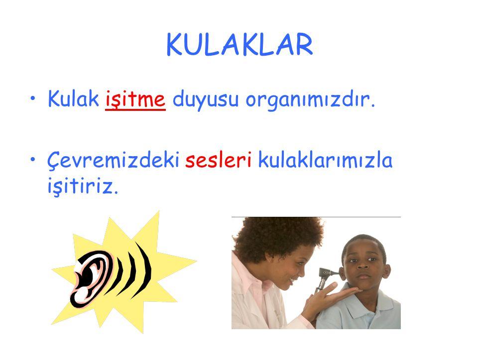 KULAKLAR Kulak işitme duyusu organımızdır. Çevremizdeki sesleri kulaklarımızla işitiriz.