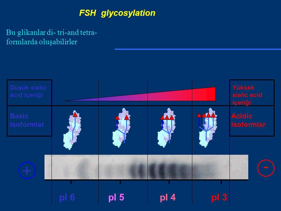 pI 5pI 4pI 3pI 6 Basic isoformlar Düşük sialic acid içeriği Acidic isoformlar Yüksek sialic acid içeriği + - FSH glycosylation Bu glikanlar di- tri-and tetra- formlarda oluşabilirler