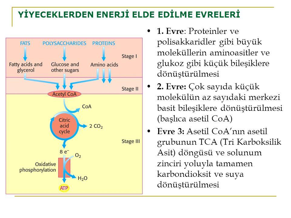 YİYECEKLERDEN ENERJİ ELDE EDİLME EVRELERİ 1. Evre : Proteinler ve polisakkaridler gibi büyük moleküllerin aminoasitler ve glukoz gibi küçük bileşikler