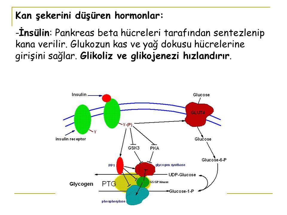 Kan şekerini düşüren hormonlar: -İnsülin: Pankreas beta hücreleri tarafından sentezlenip kana verilir. Glukozun kas ve yağ dokusu hücrelerine girişini