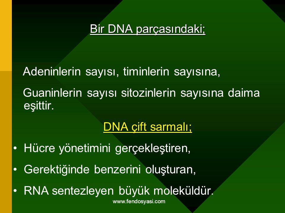 Bir DNA parçasındaki; Adeninlerin sayısı, timinlerin sayısına, Guaninlerin sayısı sitozinlerin sayısına daima eşittir. DNA çift sarmalı; Hücre yönetim