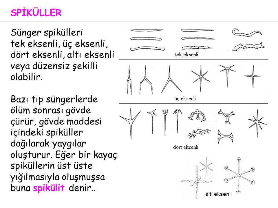 SPİKÜLLER Sünger spikülleri tek eksenli, üç eksenli, dört eksenli, altı eksenli veya düzensiz şekilli olabilir. Bazı tip süngerlerde ölüm sonrası gövd