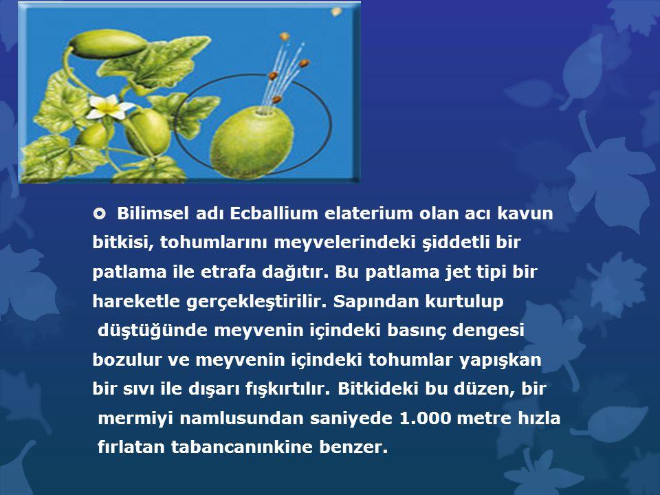  Bilimsel adı Ecballium elaterium olan acı kavun bitkisi, tohumlarını meyvelerindeki şiddetli bir patlama ile etrafa dağıtır. Bu patlama jet tipi bir