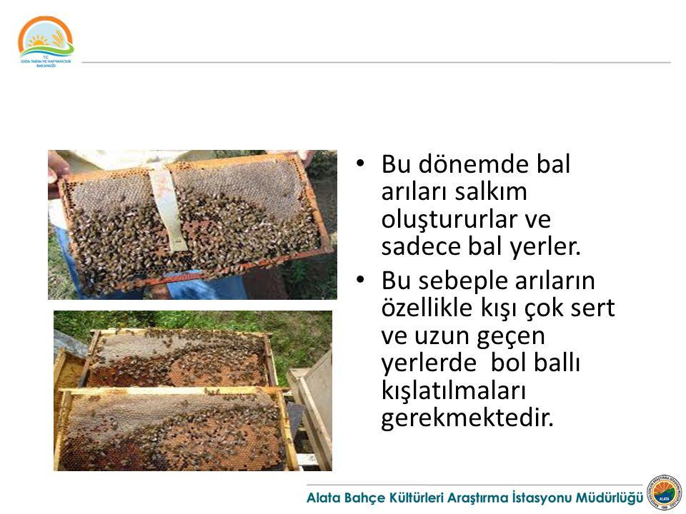 Bu dönemde bal arıları salkım oluştururlar ve sadece bal yerler. Bu sebeple arıların özellikle kışı çok sert ve uzun geçen yerlerde bol ballı kışlatıl