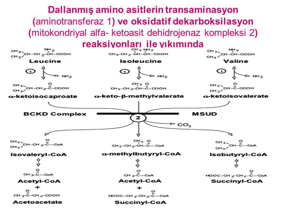 Dallanmış amino asitlerin transaminasyon (aminotransferaz 1) ve oksidatif dekarboksilasyon (mitokondriyal alfa- ketoasit dehidrojenaz kompleksi 2) rea
