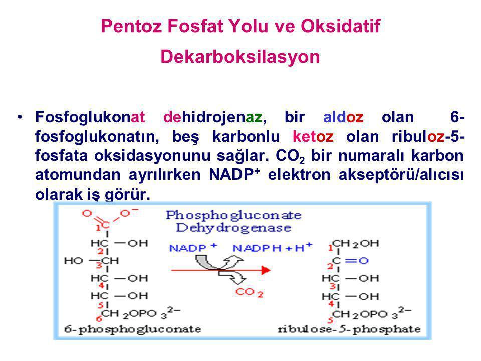 Pentoz Fosfat Yolu ve Oksidatif Dekarboksilasyon Fosfoglukonat dehidrojenaz, bir aldoz olan 6- fosfoglukonatın, beş karbonlu ketoz olan ribuloz-5- fos