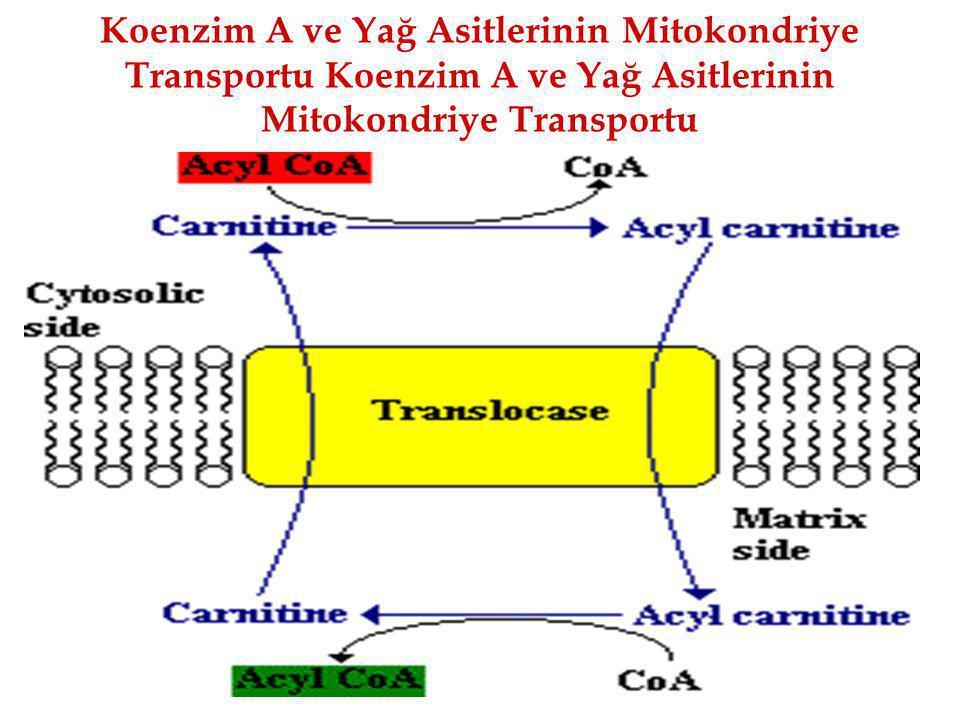 Koenzim A ve Yağ Asitlerinin Mitokondriye Transportu