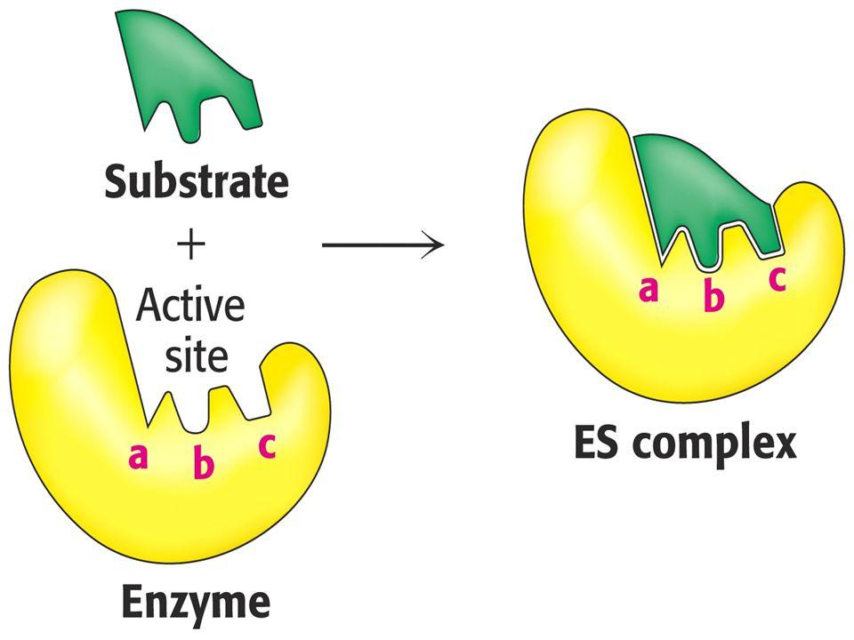 Enzim aktivitesi Bir enzimatik reaksiyonun hızı, enzimin etkinliği veya enzimin aktivitesi ile ilişkilidir Bir enzimin aktivitesi, o enzim tarafından katalizlenen enzimatik reaksiyonun hızının, enzim etkisiyle optimal koşullarda belirli sürede ürüne dönüştürülen substrat miktarına göre ifadesidir Etkinliği veya aktivitesi fazla olan bir enzim, belirli bir sürede daha fazla substrat molekülünü ürün haline dönüştürür