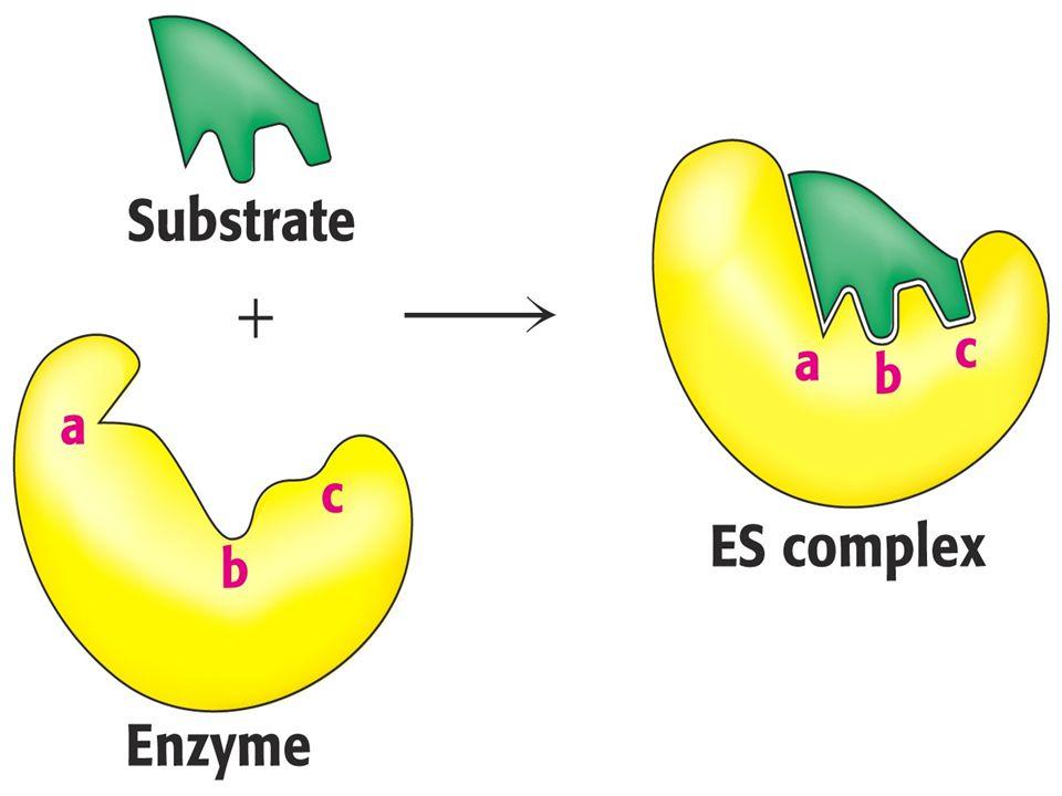 Hormonlar, amino asitler ve diğer bazı maddeler enzimin durumunu etkileyerek reaksiyon hızını değiştirebilirler: Reaksiyon ürünleri oluştukça enzimatik reaksiyonun hızı azalır.