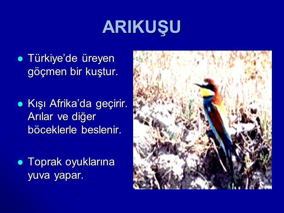 GÖKKUZGUN  Türkiye'de üreyen göçmen bir kuştur  Kışı Afrika'da geçirir  Çekirge gibi büyük böceklerle beslenir.