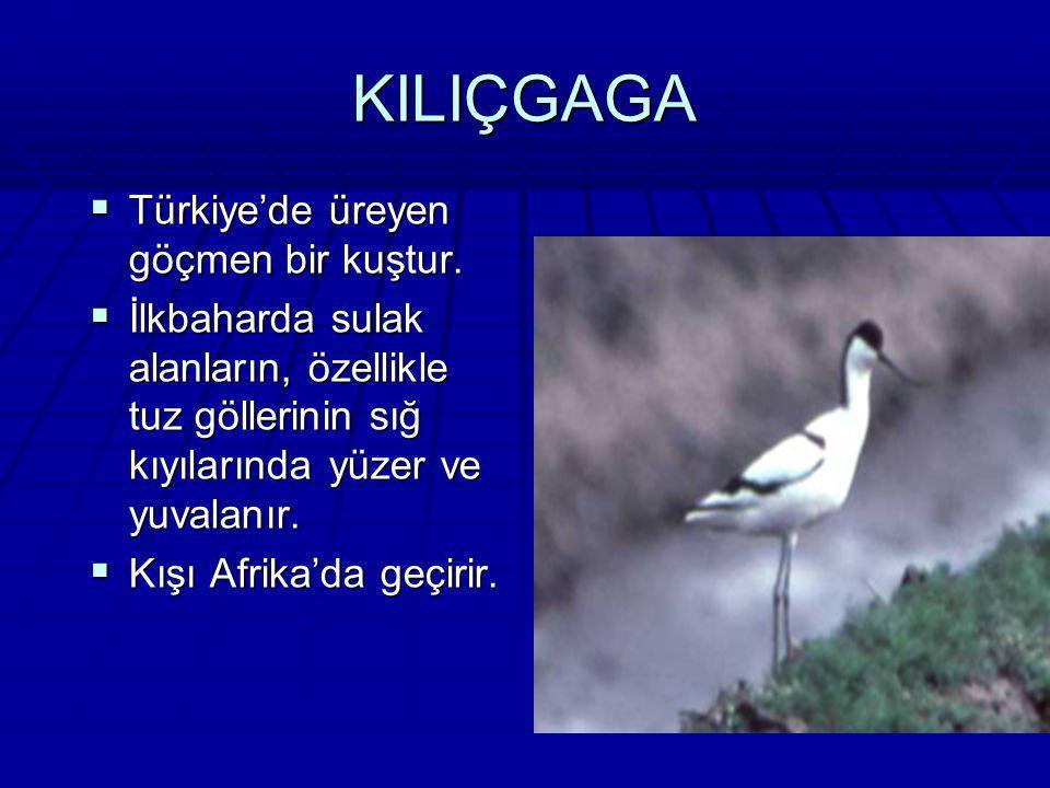 ARIKUŞU Türkiye'de üreyen göçmen bir kuştur. Türkiye'de üreyen göçmen bir kuştur. Kışı Afrika'da geçirir. Arılar ve diğer böceklerle beslenir. Kışı Af