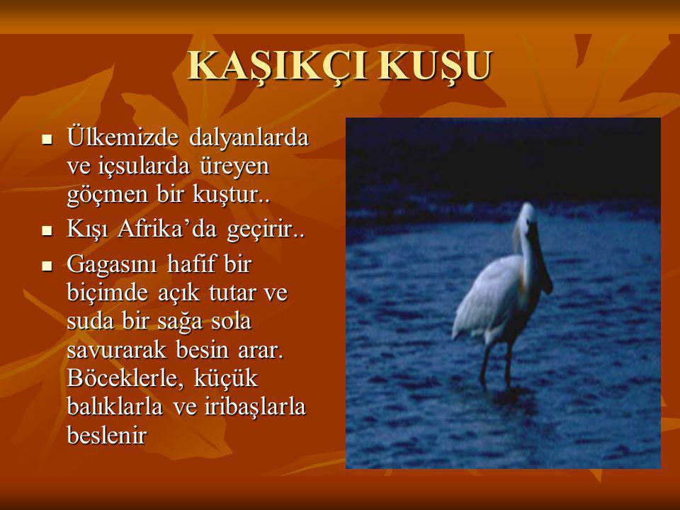 KILIÇGAGA  Türkiye'de üreyen göçmen bir kuştur.  İlkbaharda sulak alanların, özellikle tuz göllerinin sığ kıyılarında yüzer ve yuvalanır.  Kışı Afr