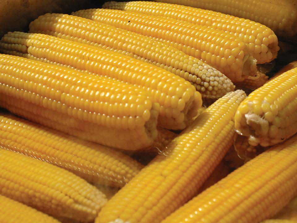 Bu çalışmada, taze mısırlar tanelenmiş, dilimlenmiş ve koçanlı şekilde dondurularak depolanmıştır.