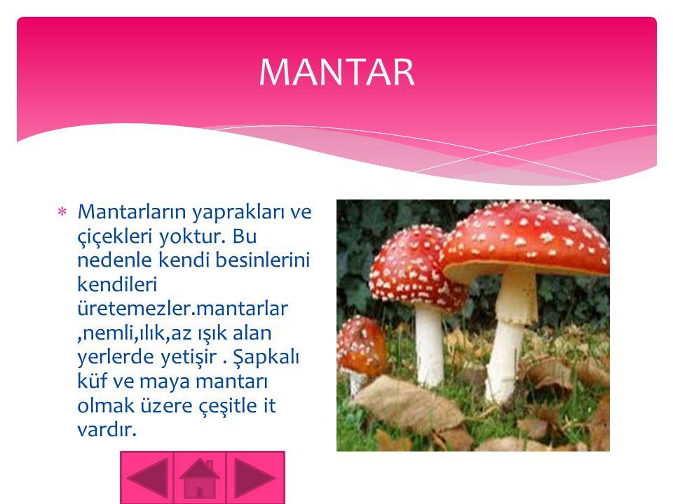 MANTAR  Mantar bir bitkiye benzer Ama bitki değildir. Bazı türleri zararlı ve zehirlidir.ormanlarda Yeşil alanlara bulunur. Atarların pek çok türü va