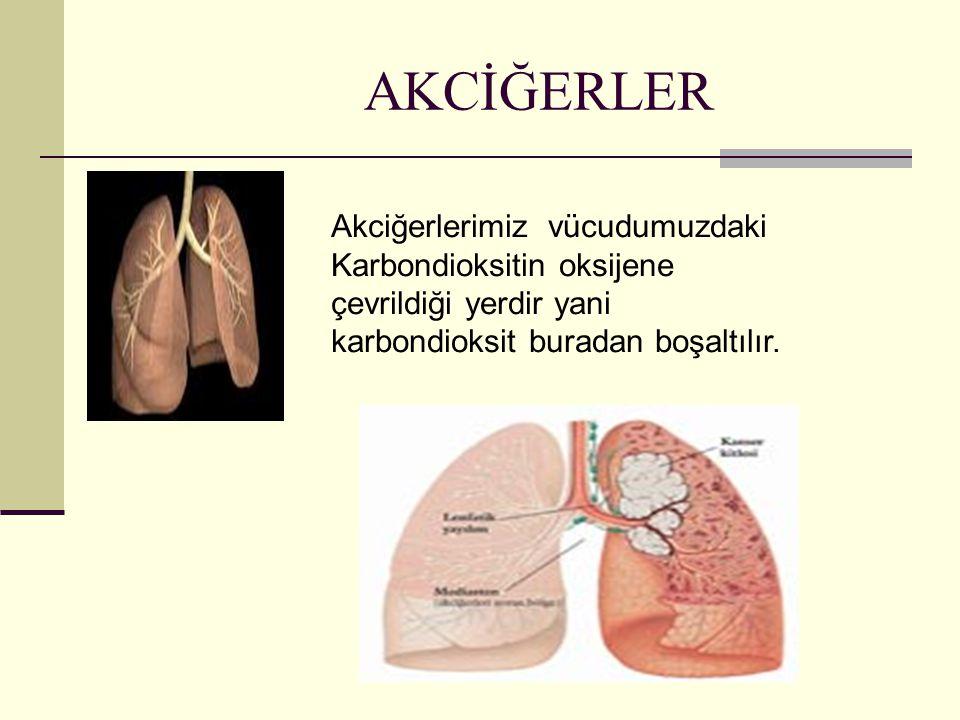 AKCİĞERLER Akciğerlerimiz vücudumuzdaki Karbondioksitin oksijene çevrildiği yerdir yani karbondioksit buradan boşaltılır.
