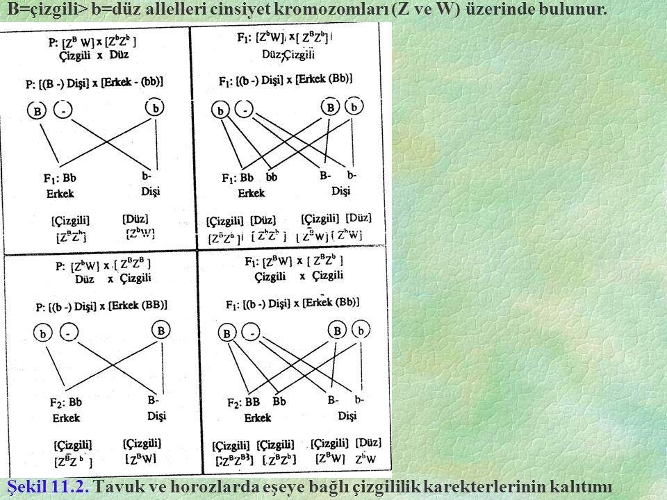 Şekil 11.2. Tavuk ve horozlarda eşeye bağlı çizgililik karekterlerinin kalıtımı B=çizgili> b=düz allelleri cinsiyet kromozomları (Z ve W) üzerinde bul