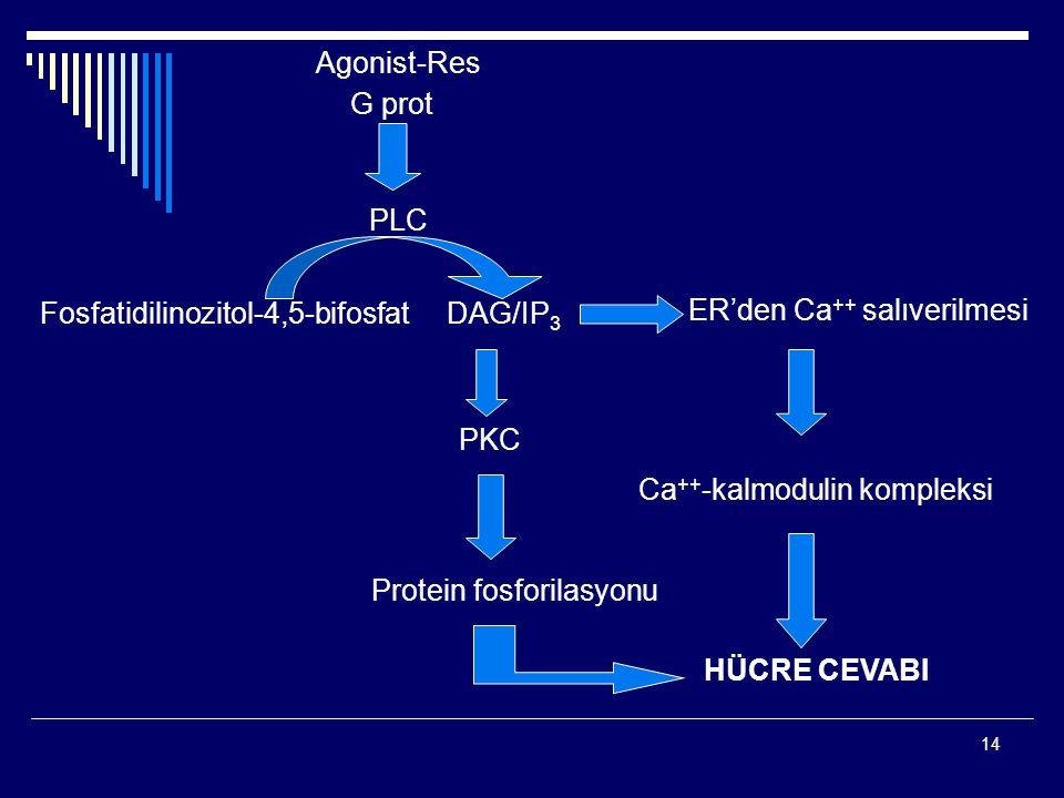 14 Agonist-Res G prot PLC Fosfatidilinozitol-4,5-bifosfatDAG/IP 3 PKC Protein fosforilasyonu ER'den Ca ++ salıverilmesi Ca ++ -kalmodulin kompleksi HÜCRE CEVABI