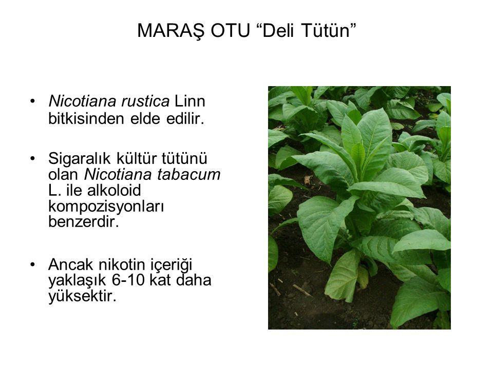 """MARAŞ OTU """"Deli Tütün"""" Nicotiana rustica Linn bitkisinden elde edilir. Sigaralık kültür tütünü olan Nicotiana tabacum L. ile alkoloid kompozisyonları"""