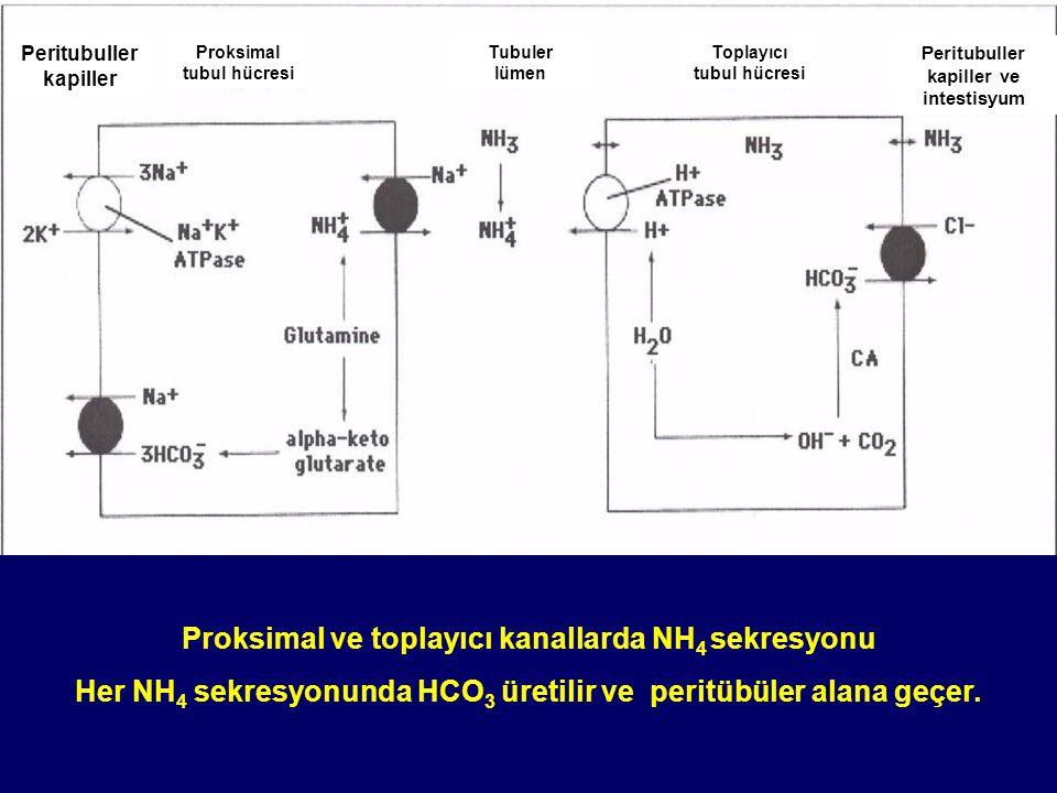 Peritubuller kapiller Proksimal tubul hücresi Tubuler lümen Toplayıcı tubul hücresi Peritubuller kapiller Sekrete edilen Filtre edilen Proksimal ve toplayıcı kanallarda titre edilebilir idrar asiditesi