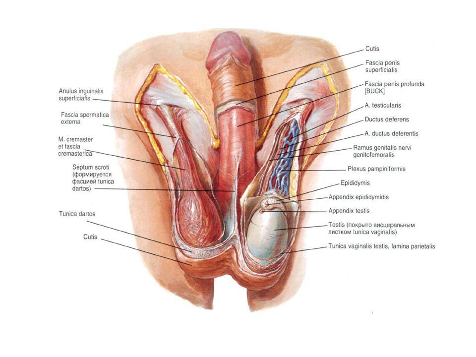 Skrotumu dıştan içe doğru oluşturan fasyalar;  Cilt  Dartos kası  Colles fasyası  Fasya spermatika eksterna  Kremasterik kas  Fasya spermatika interna  Tunika vaginalis