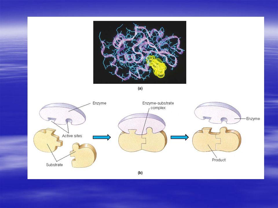  Sentezlenmeleri, protein sentezi kurallarına uygun olarak gerçekleşen enzimlerin bir kısmı, metabolizma için daima gerekli olan, bu nedenle hücrede sürekli olarak bulunan enzimlerdir.