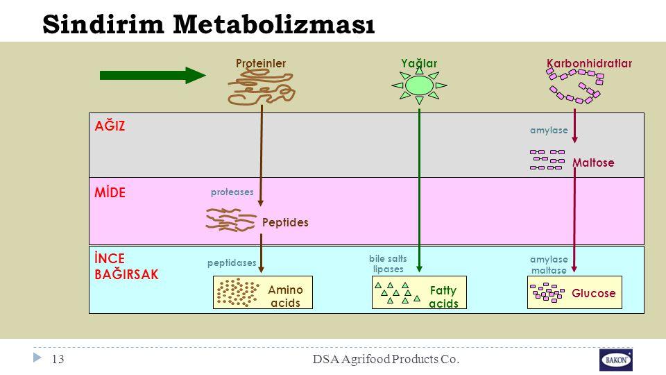 Sindirim Metabolizması ProteinlerYağlarKarbonhidratlar AĞIZ MİDE İNCE BAĞIRSAK Peptides proteases Amino acids peptidases Fatty acids bile salts lipase