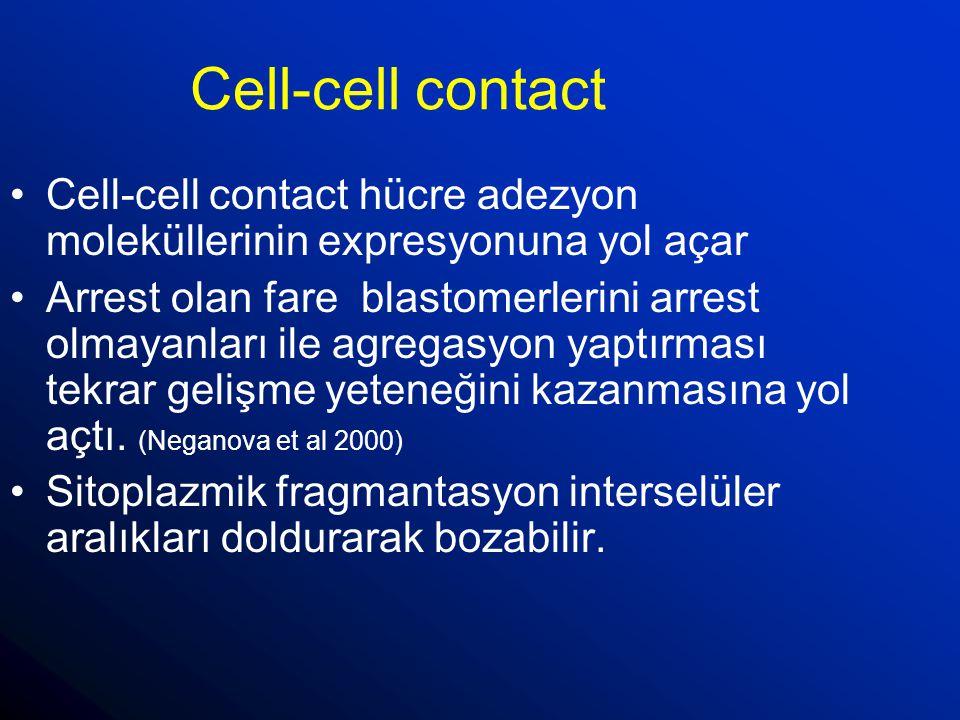 Cell-cell contact Cell-cell contact hücre adezyon moleküllerinin expresyonuna yol açar Arrest olan fare blastomerlerini arrest olmayanları ile agregas
